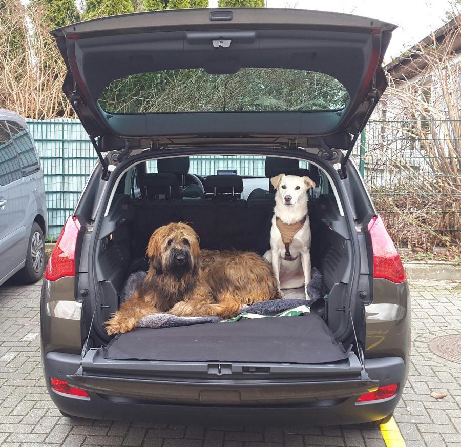 Hotdog Zwei Hunde im Kofferraum eines Fahrzeuges
