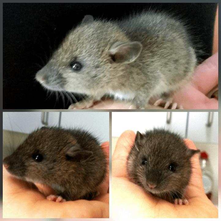 Maus in der Hand beim Tierarzt