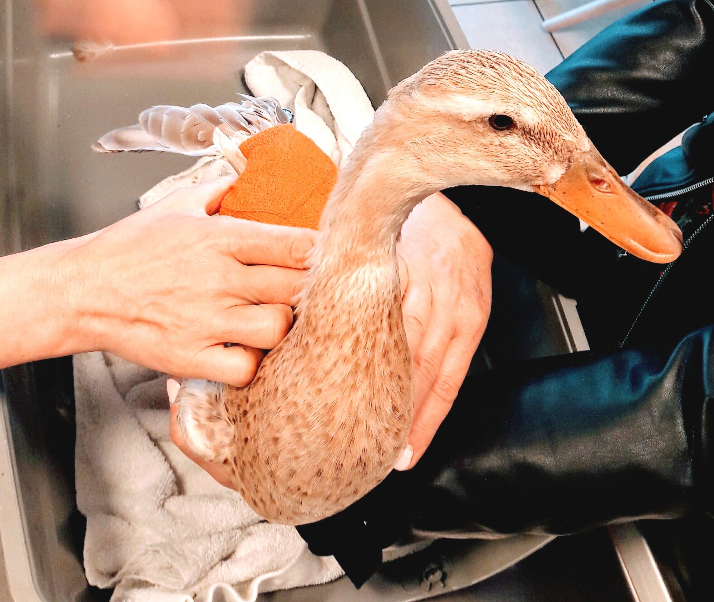 Ente mit Verband auf dem Behandlungstisch beim Tierarzt