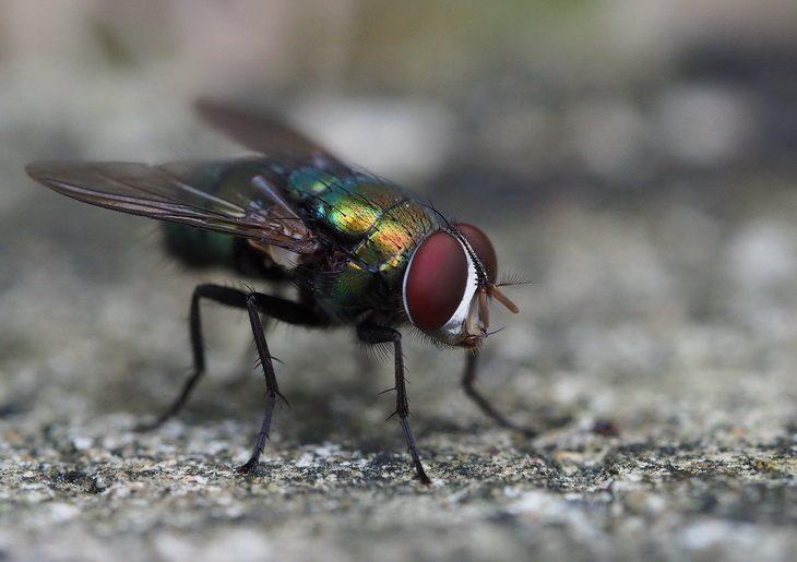 Fliege und Larve Nah