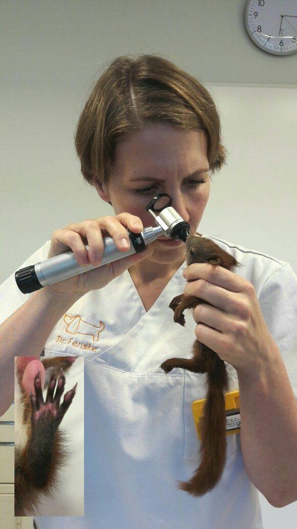 Eichhörnchen bei der Untersuchung beim Tierarzt