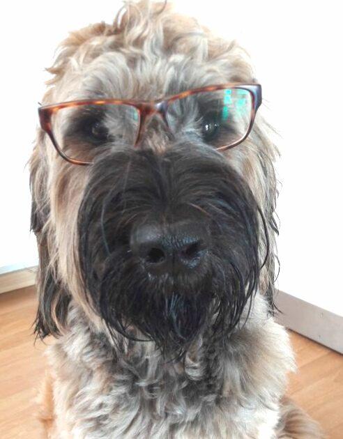 Großer Hund mit Brille humoristisch