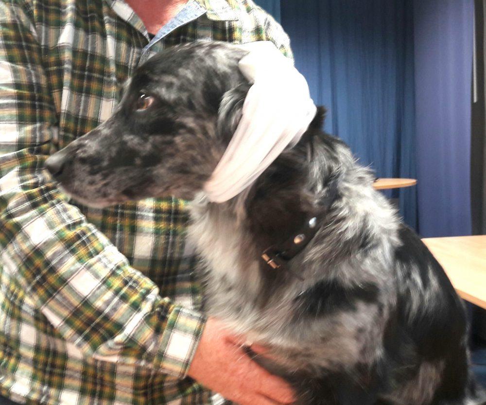 Erste-Hilfe-Kurs Hund mit Kopfverband