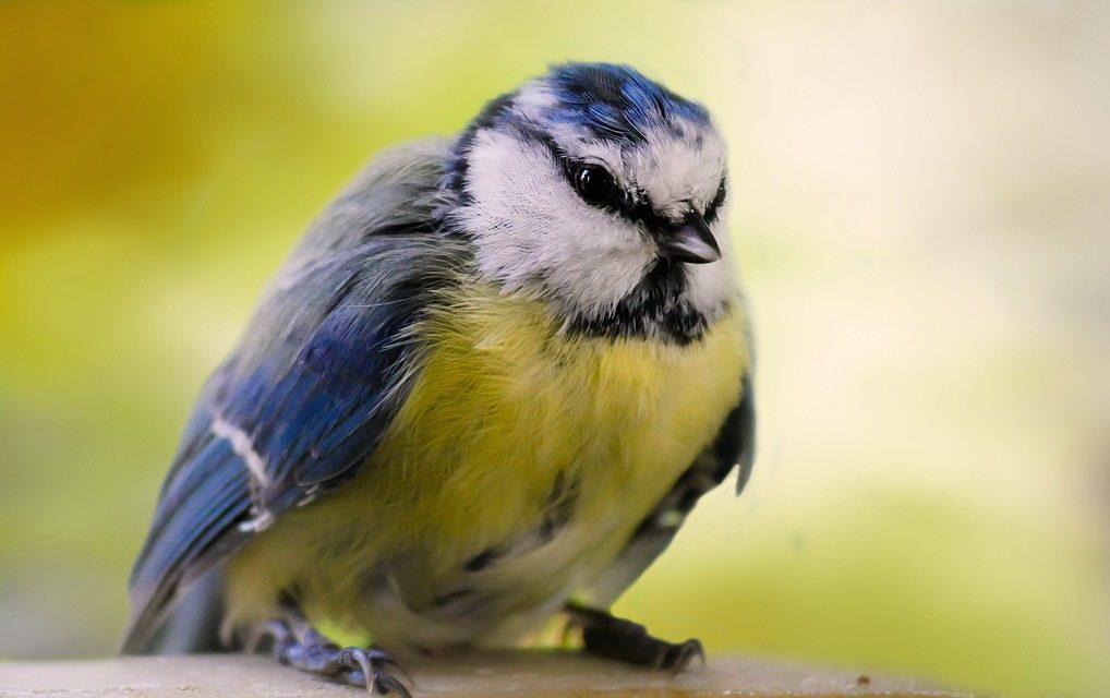 Blaumeisensterben