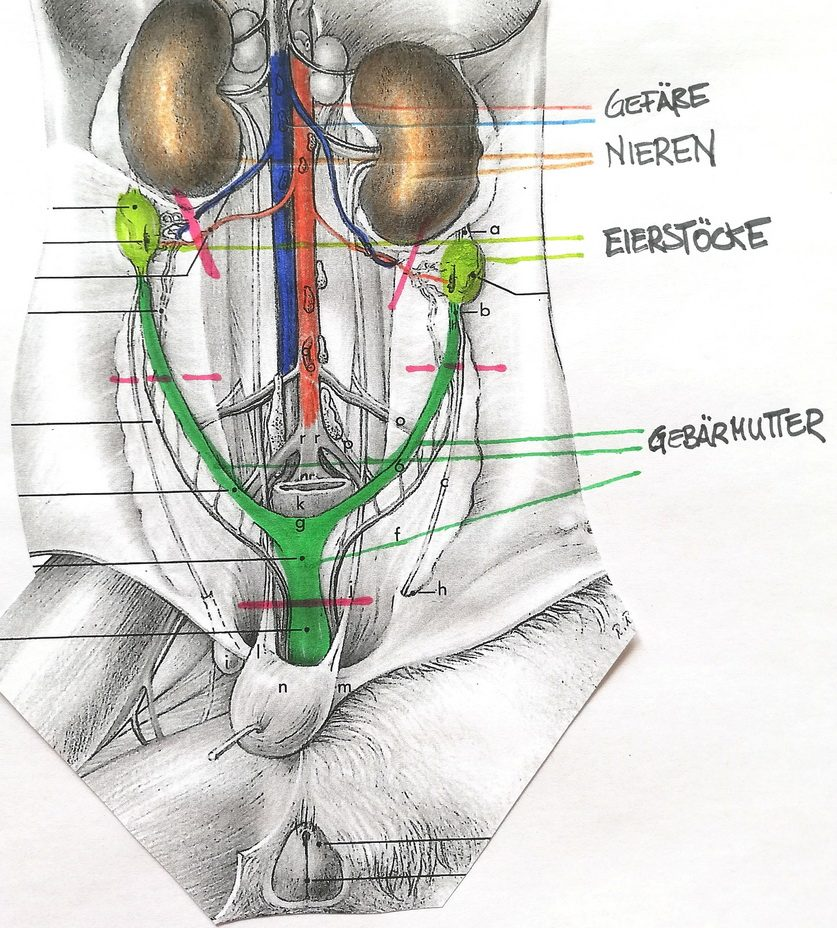 kastration-huendin-schaubild-innere