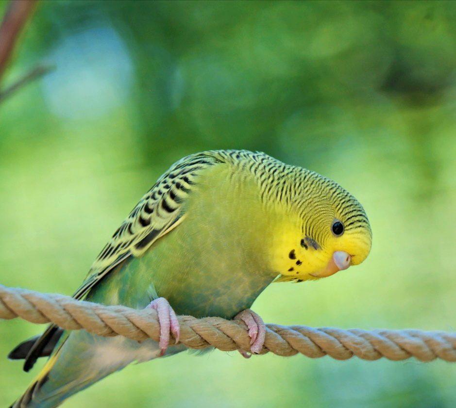 vogelberingung-titelbild-wellensittich