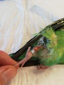 vogelberingung-verletzungsrisiko-wellensittich